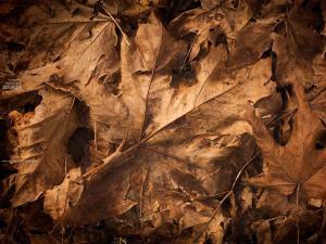 brown-leaves